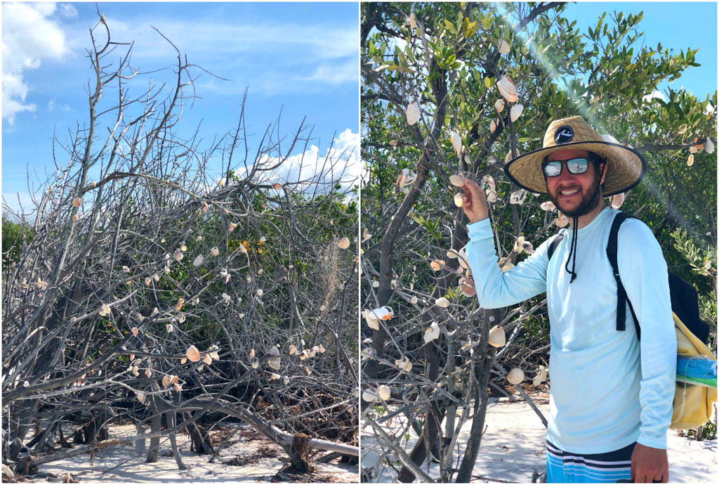 A man wearing a hat is hanging a shell on the shell trees at Caladesi Island.